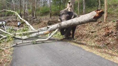 狂风大作之后,大树横断在马路上,大象出鼻,轻轻松松!