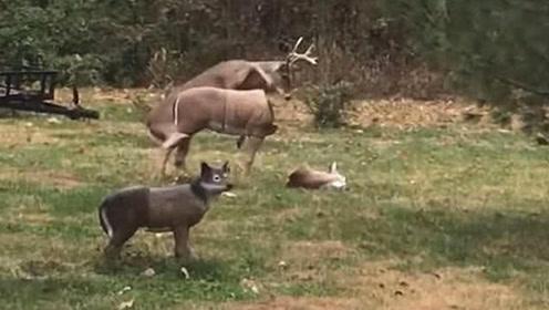 美国一雄鹿试图与假鹿热情互动,假鹿头突然掉落雄鹿吓愣