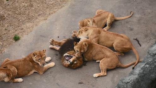 雄狮被6只母狮围住撕咬,这是犯了什么错?下场这么惨