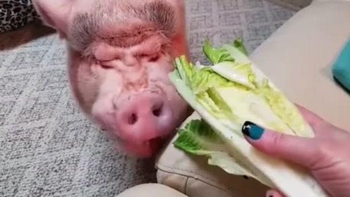 """一只""""迷你猪""""正在吃生菜,这是相当有胃口了"""