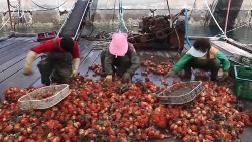 渔民收货海菠萝,一串20米长场面壮观,吃上一口还不错