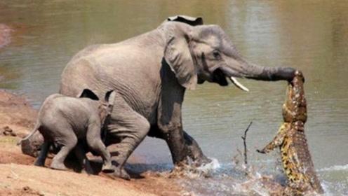 大象被鳄鱼咬住鼻子,凶猛鳄鱼将大象拖下水,看大象如何发飙!