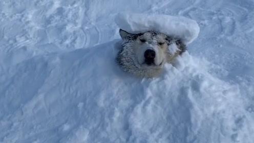 主人把二哈埋在雪地里,只见二哈一动不动,再晚会出来就成冰雕了!
