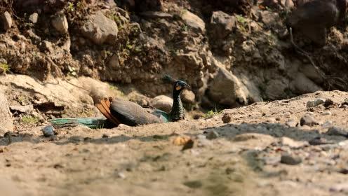 绿孔雀沙浴视频