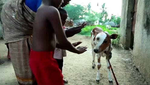 湿婆化身?畸形牛被印度村民尊为神明,村民每天膜拜祈福!