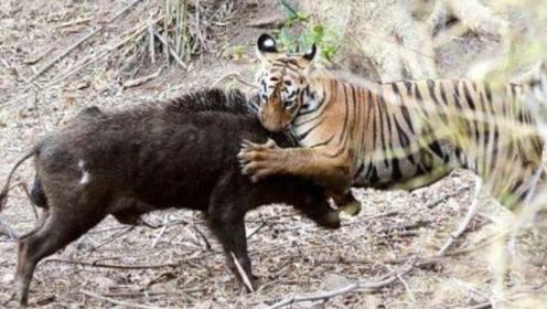 老虎捕猎成年大野猪,出其不意攻其不备,野猪:能不能别偷袭?