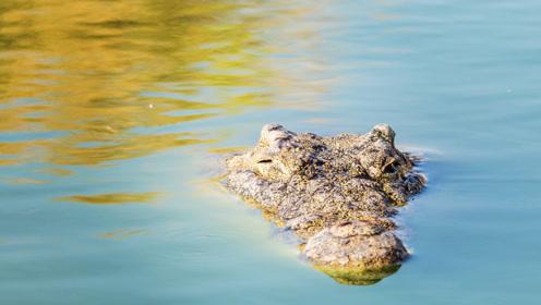 湿地巨兽游荡两栖,四肢短小却因尾巴名扬天下