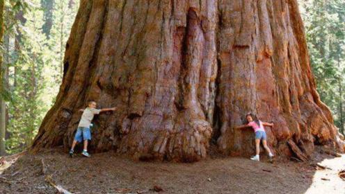 """这棵树被称为""""世界爷"""",宽11米高83米,已活2700多年!"""