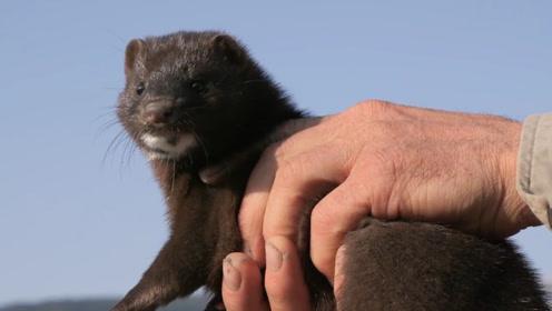 农民看到黄鼠狼,为什么不敢打死它?不是迷信,而是有科学依据的