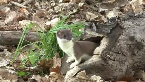 黄鼬今天运气好到爆炸,刚想出门觅食,就看见家门口有只小老鼠在洗脸
