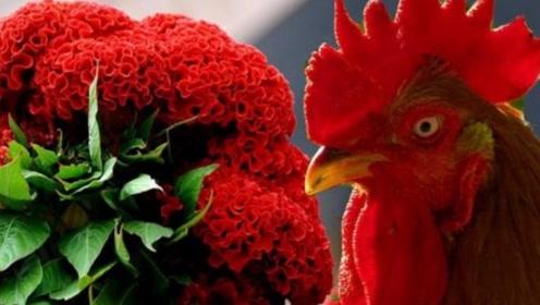 十年鸡头胜砒霜已经流传了很多年,那么鸡头到底能不能吃呢?