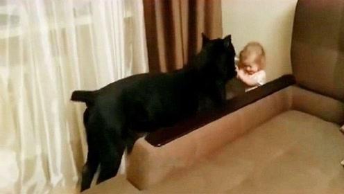 当凶猛的卡斯罗犬遇到熊孩子,网友:真是一物降一物