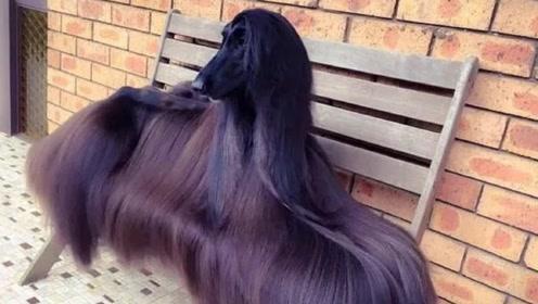 为什么国内很多地方,禁止饲养阿富汗猎犬?看完你还敢养吗?