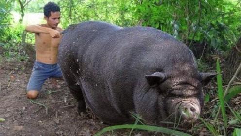 小伙家里没有公猪,母猪却怀孕了,看到生下的宝宝明白一切