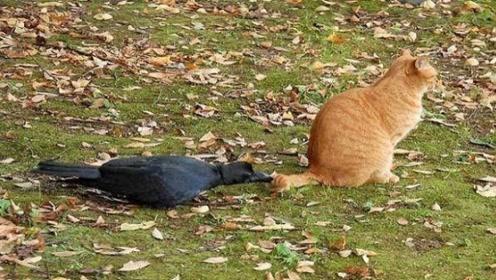 乌鸦偷袭猫咪,反被猫咪抓住,常在河边走,哪有不湿鞋