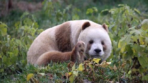 """熊猫中的""""宝中宝""""!目前全世界仅此一只,网友:这是掉色了?"""