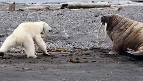 800公斤北极熊攻击镜头,理智让它记录饥饿,海象丧失全过程蝴蝶流星剑决死阵怎么过关图片