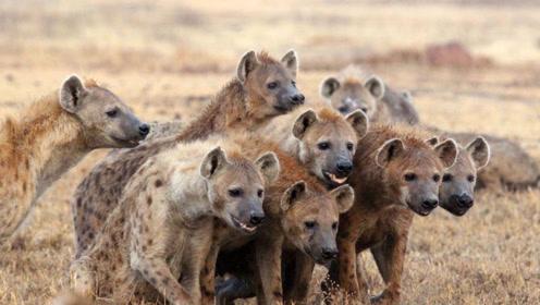 鬣狗的各种花样死法,真解气啊!看看有多少人讨厌鬣狗