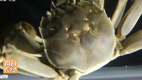 中华绒毛蟹是一种经济蟹类,又称大闸蟹,还有一个名字清水蟹等