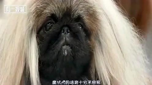 比大熊猫还贵的狗,稀有程度已经超过了大熊猫,一只价格超过1000万美金
