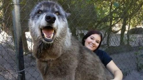 女子意外救下小狼狗,11年后越养越不对劲,网友:这是狼?