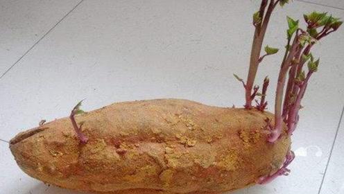 发芽红薯到底还能吃吗?现在知道为时不晚,抓紧提醒家人,切记别忽视