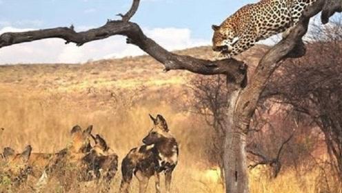 十几只野狗包围豹子,要把它扯下来,豹子都吓傻了,真心疼它