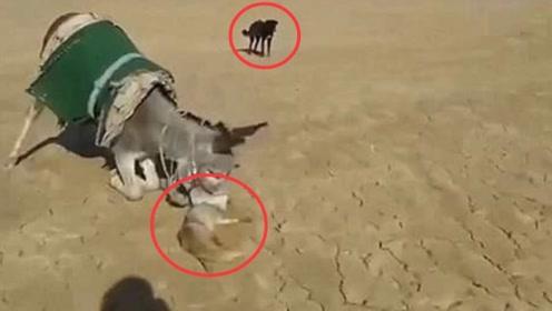 这头驴要逆天!一口将狐狸爆头吓得狗狗连连后退,镜头拍下全过程