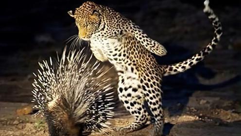 饿了5天的豹子,经不住诱惑扑向豪猪,下一秒隔着屏幕都感觉疼!