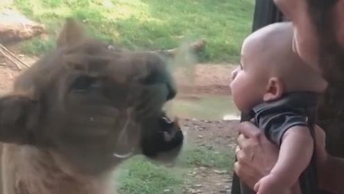 小男孩隔着玻璃亲吻了狮子一口,下一秒画风突变,看完憋住不要笑!