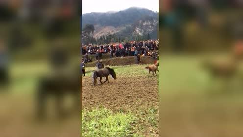 疯狂的斗马比赛,两匹战马为爱厮杀,下一秒母马竟是受害者!