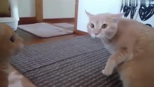 主人买了一只跟橘猫长的一样的假猫,橘猫不淡定了