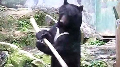 狗熊捡到一根棍子,没想到竟然耍起了打狗棍法,旁边的熊瑟瑟发抖!