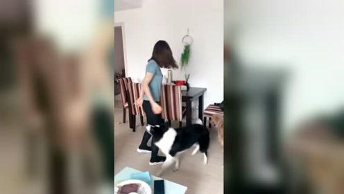 边牧与金毛,智商差距明显,不愧是地球上最聪明的狗狗!