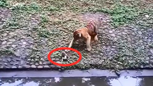 猫咪掉进老虎园,不料一只老虎过来了,下一秒憋住别笑