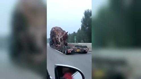 这狮子到底往哪运啊,看了两年还在高速路上呢!