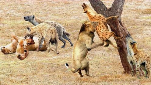 怀孕母狮遭鬣狗算计,奄奄一息时意外发生,雄狮:老婆我接你回家