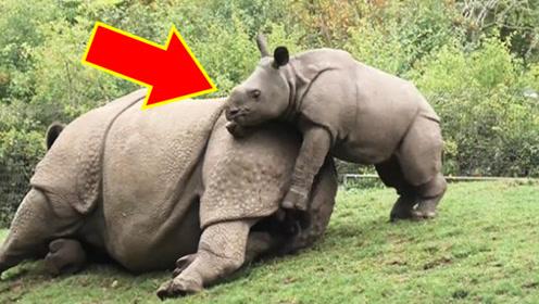 犀牛妈妈在睡懒觉,接下来小犀牛的举动,令人意想不到!