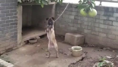 出门三天,刚回来狗子就给我疯狂暗示!它这是啥意思?