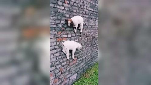 山羊这名字真不是白叫的,接下来,这技能厉害了!