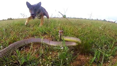 狗子发现一条蛇,无所畏惧大战三百回合,蛇:我太难了!