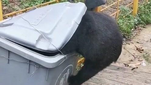 这只狗熊真的是太淘气了啊,难道没有吃饱吗?怎么去翻垃圾箱去了啊