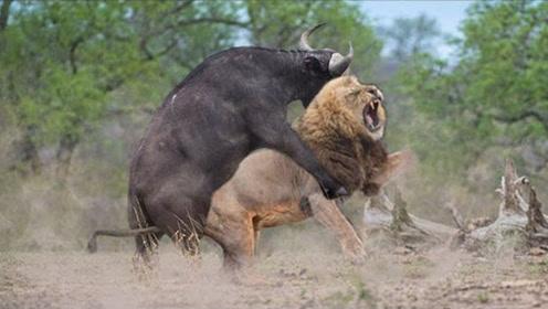 狮王和野牛经典大战,狮子身受重伤仍要战斗!镜头记录全过程!