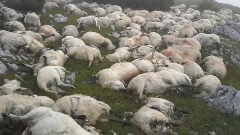 夜里雷声大作,次日农场主去牧羊,才发现无一幸免,真是太悲剧了!
