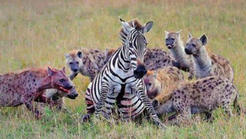 斑马被鬣狗群体围攻,然而斑马却毫不抵抗,看完后真相后令人心酸