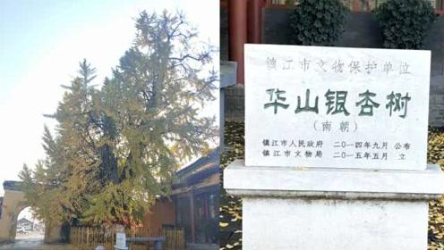 """镇江1500余岁银杏被奉为神树:""""干子女""""成千上万"""