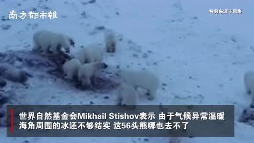 俄罗斯一偏远村庄被56只北极熊包围,专家建议居民永久撤离