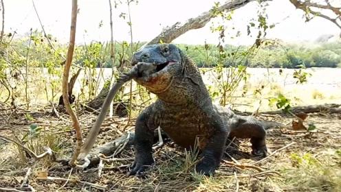 猴子偷吃科莫多巨蜥的蛋,被整个活吞,镜头拍下全过程!