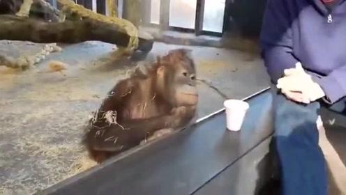 游客给动物园里的猴子表演魔术,猴子手托腮认真的观看,像极了听话的孩子!