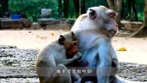 小猴子打扰妹妹吃奶,猴子妈妈当场一巴掌下去,瞬间就郁闷了